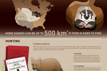 Teach your kids about badgers Infographic