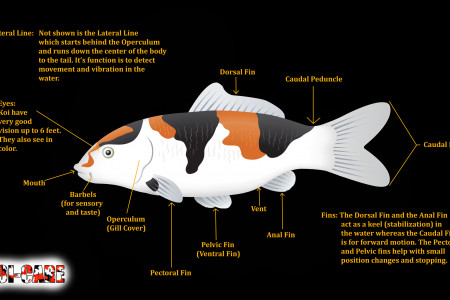 The External Anatomy of a Koi Fish Infographic