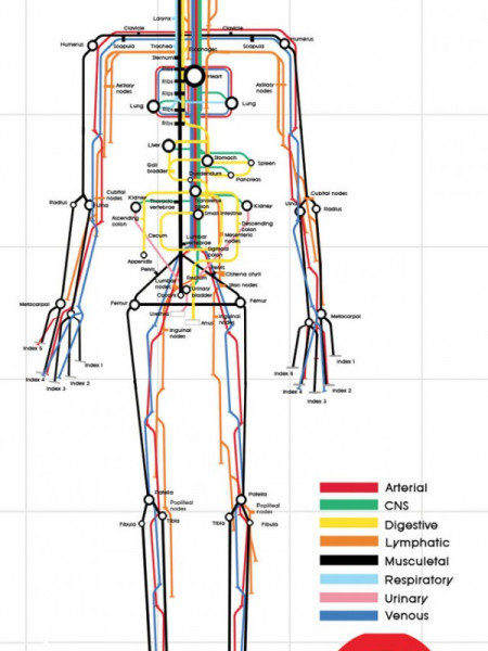 The Human Body Infographic