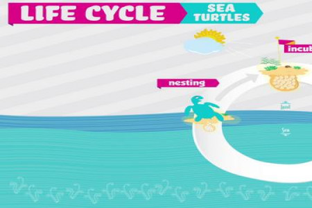 The Life Cycle of a Sea Turtle Infographic