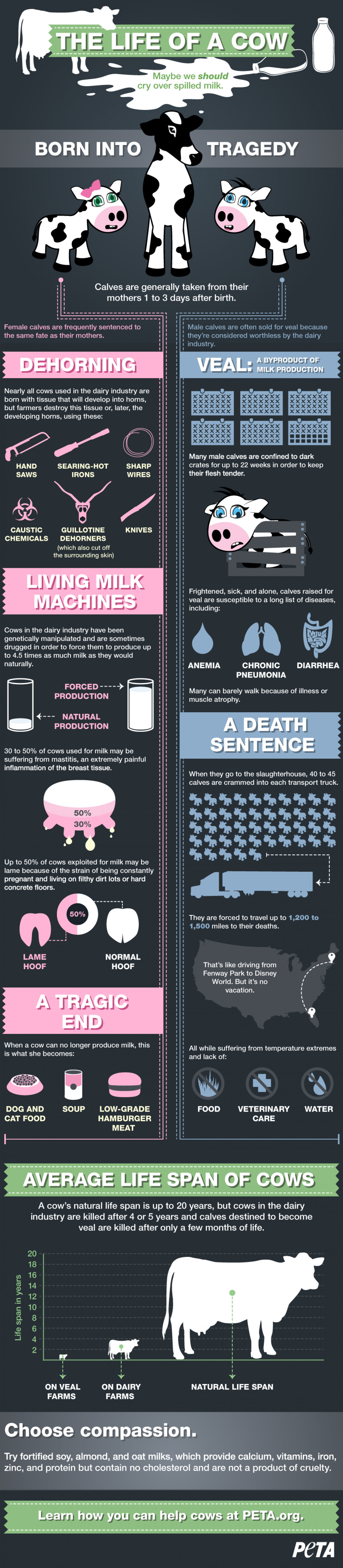 The Life of a Cow  Infographic