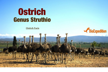 The Ostrich Infographic