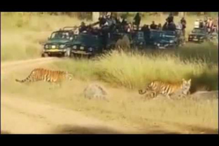 Tigress Neelam And Her Cubs Spotted Taking A Stroll At Kanha National Park Infographic