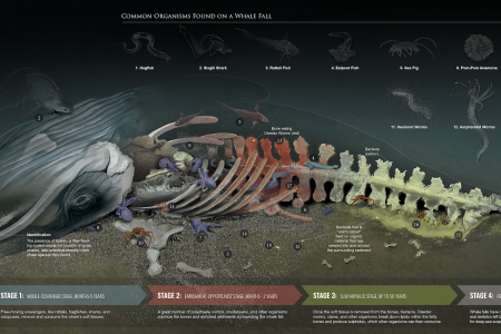 Whale Fall Infographic
