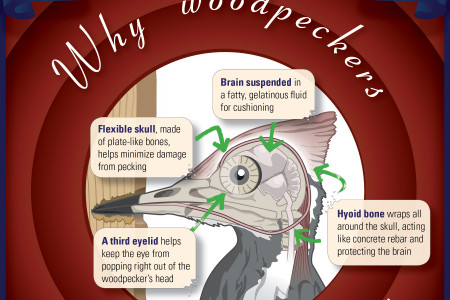 Why woodpeckers don't get headaches Infographic