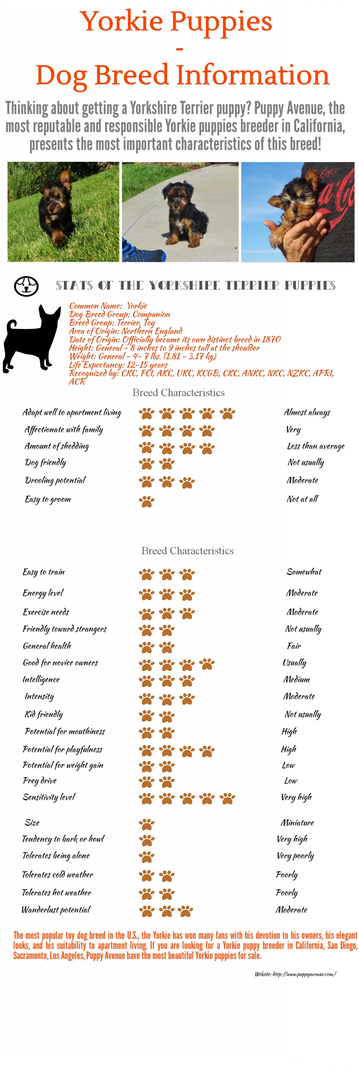 Yorkie Puppies  -  Dog Breed Information and Characteristics Infographic