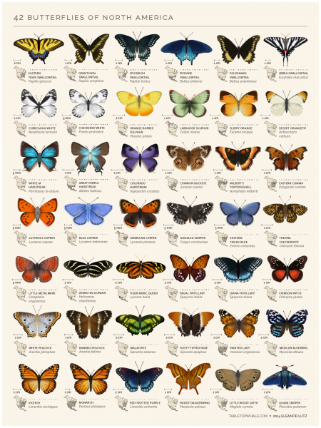 An animated chart of 42 North American butterflies Infographic