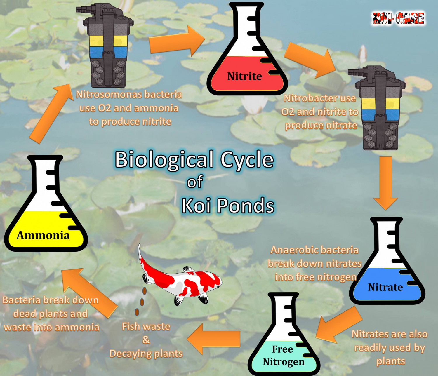 Biological Cycle of Koi Ponds Infographic