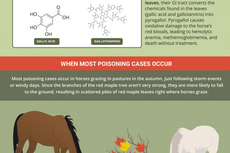 Red Maple Poisoning in Horses Infographic
