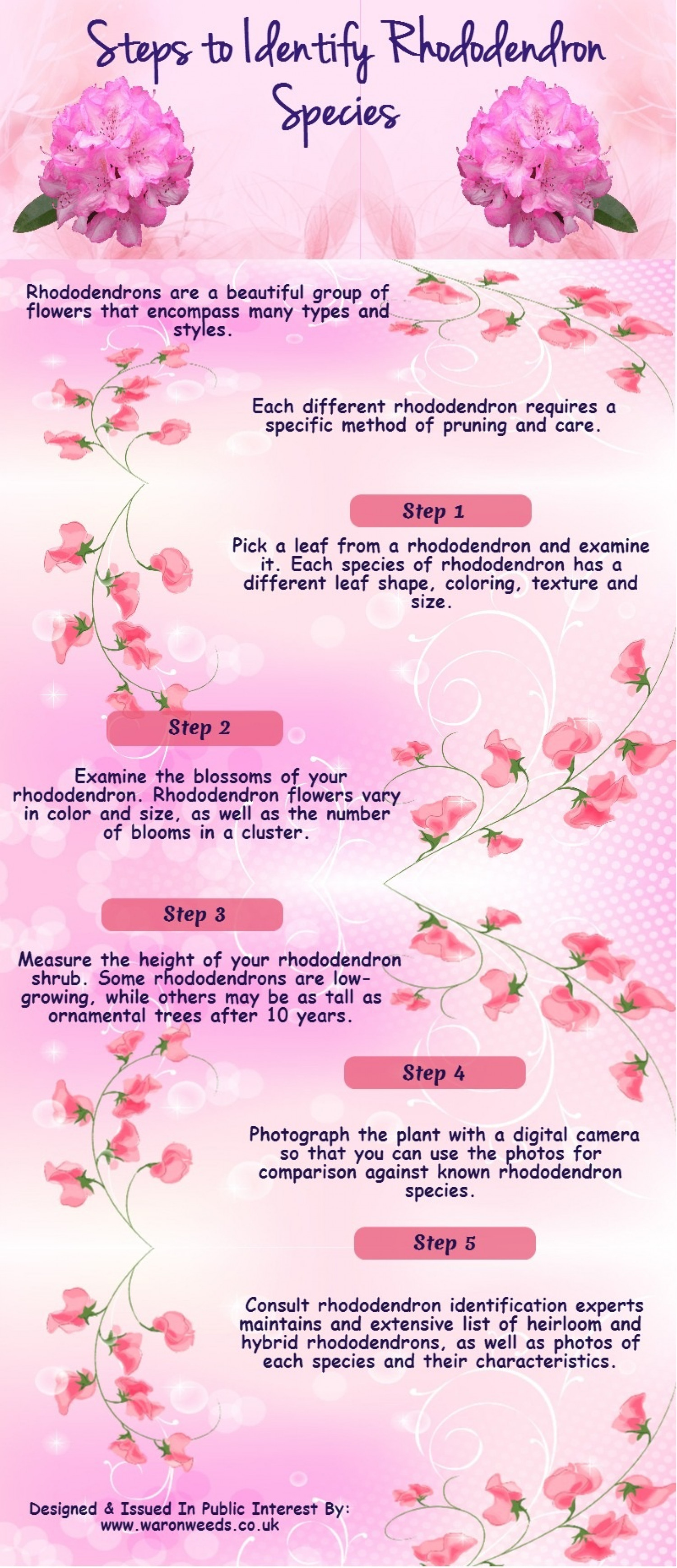 How to Identify Rhododendron Species Infographic