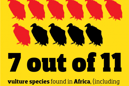 African Vultures Infographic