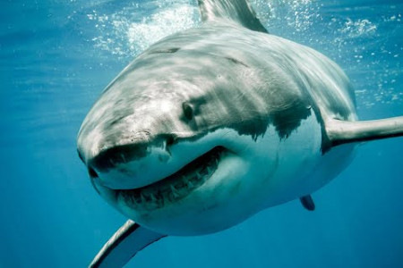 Amazing Facts About The Great White Shark in 2020 Infographic