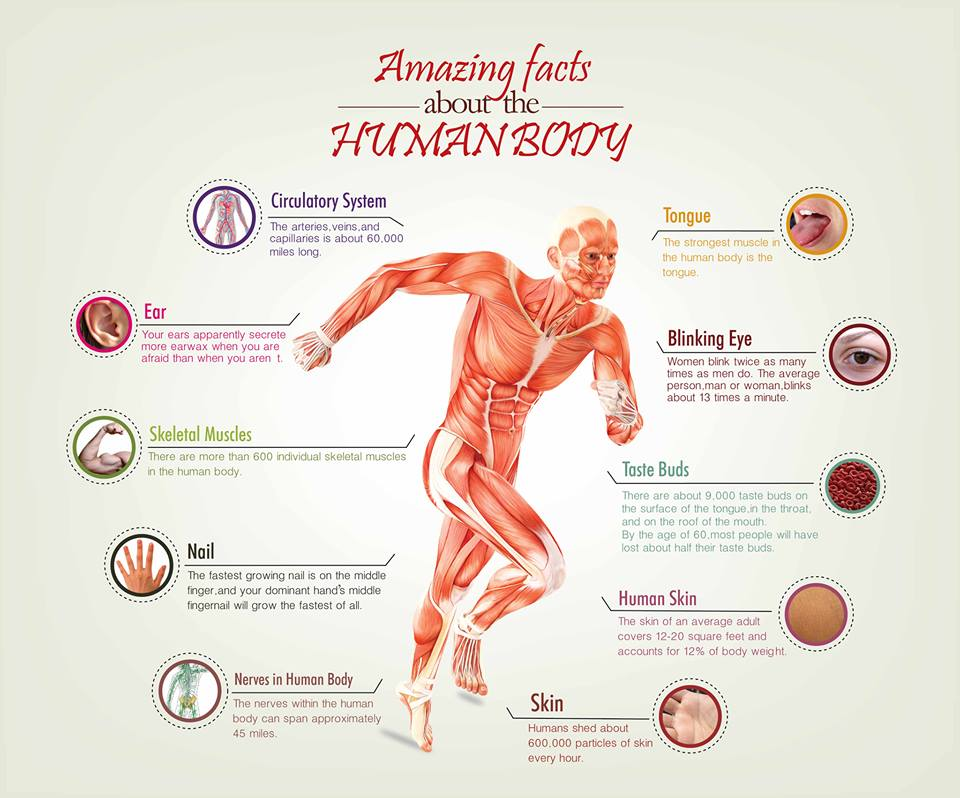 Amazing Facts About The Human Body Visual