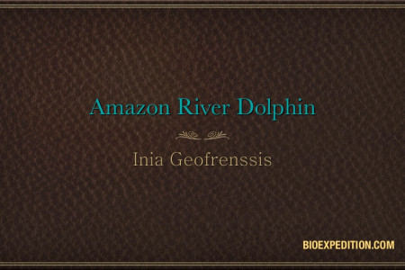 Amazon River Dolphin - Inia Geofrenssis Infographic