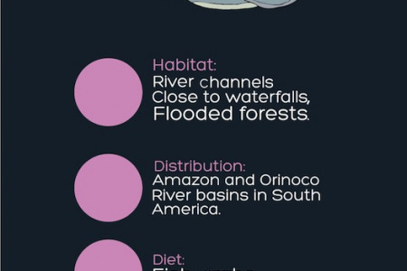 Amazon River Dolphin Infographic
