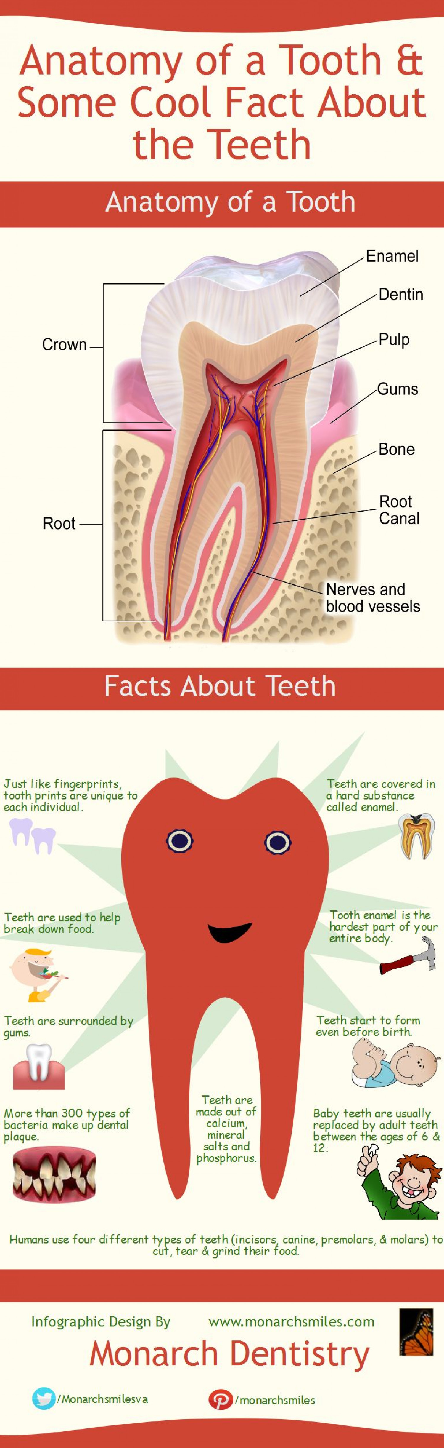 Anatomy Of A Tooth Some Cool Fact About The Teeth Visual