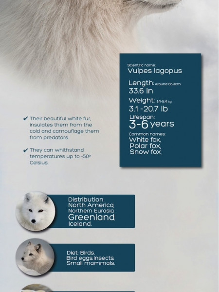Arctic Fox Infographic