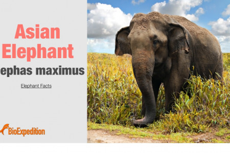 Asian Elephant Infographic