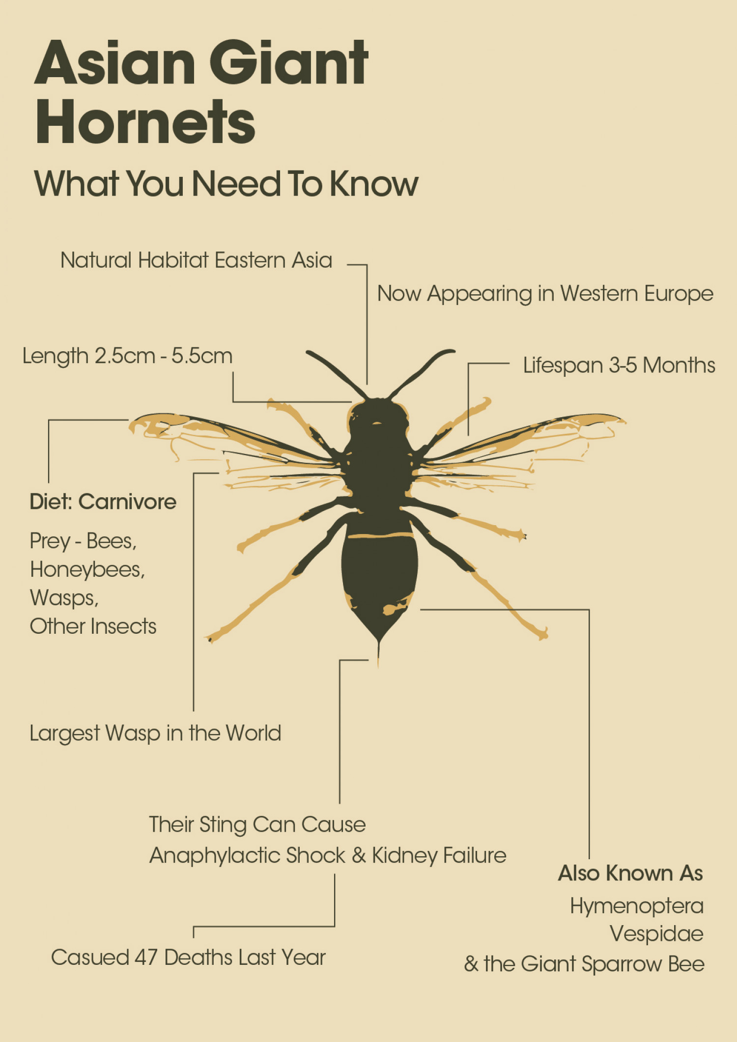 Asian Giant Hornets - What You Need To Know Infographic