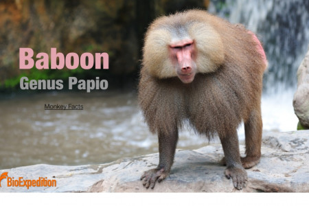 Baboon Infographic