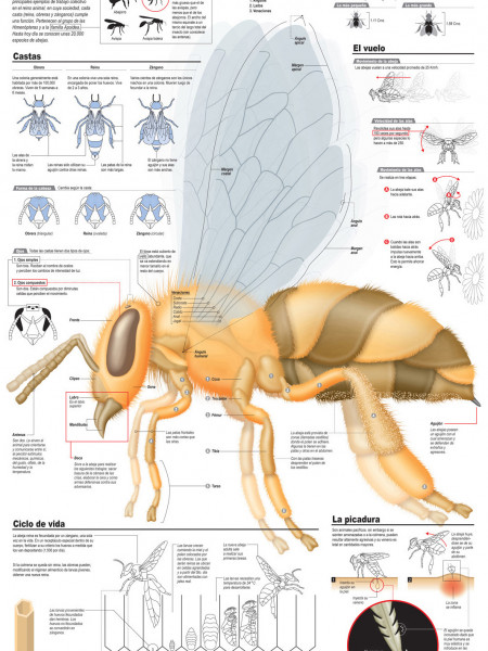Bees Broken Down Infographic
