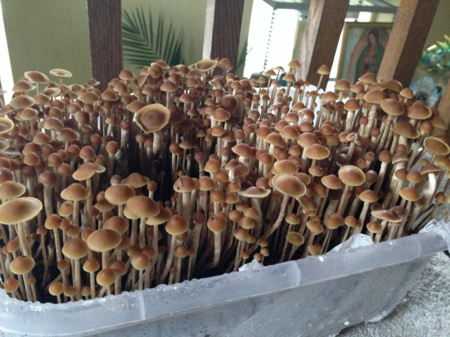 Best Place To Buy Magic Mushrooms Infographic