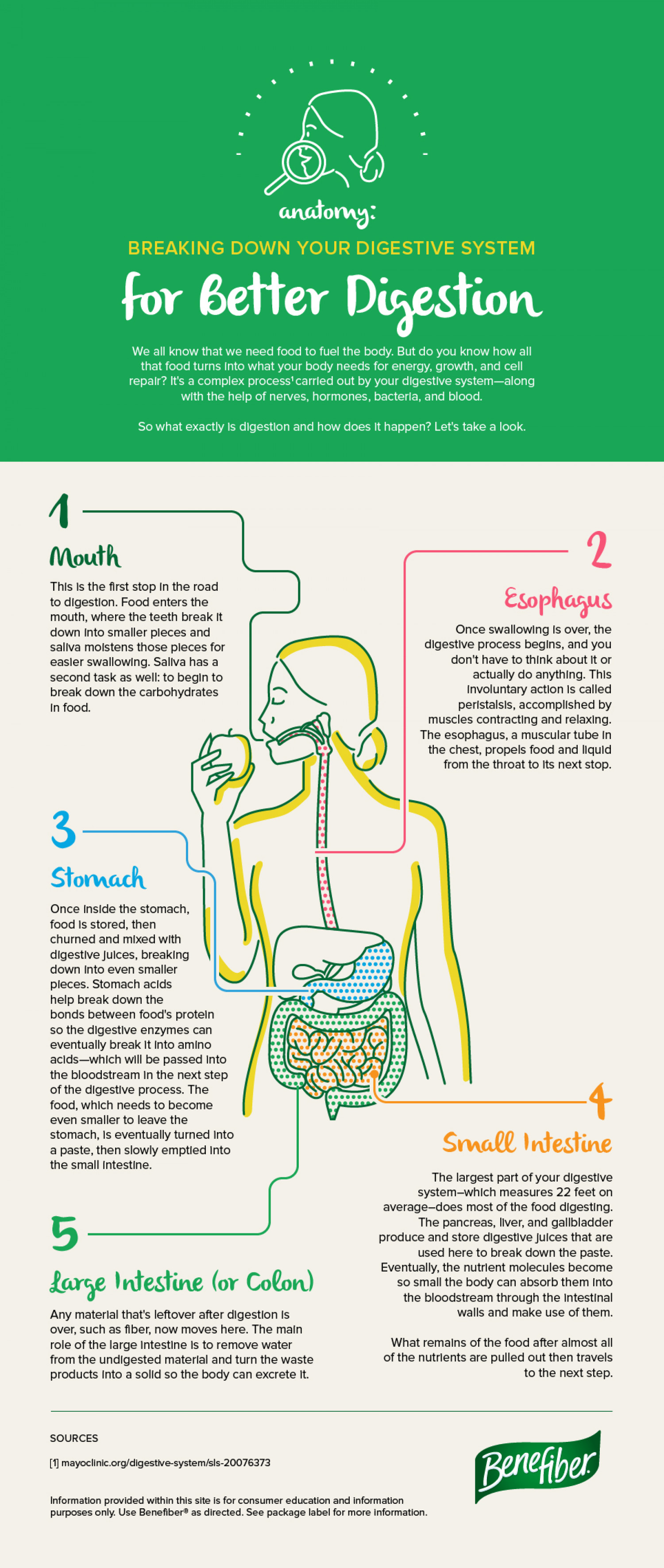 Breaking Your Digestive System Down For Better Digestion Visual