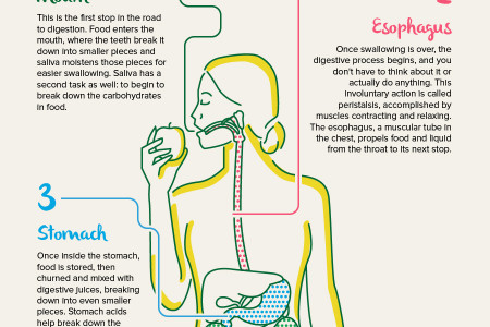 Breaking your digestive system down for better digestion Infographic