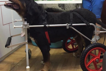 Canine Wheelchair For Rear And Front Leg Support Infographic