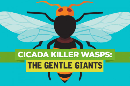 Cicada Killer Wasps: The Gentle Giants Infographic