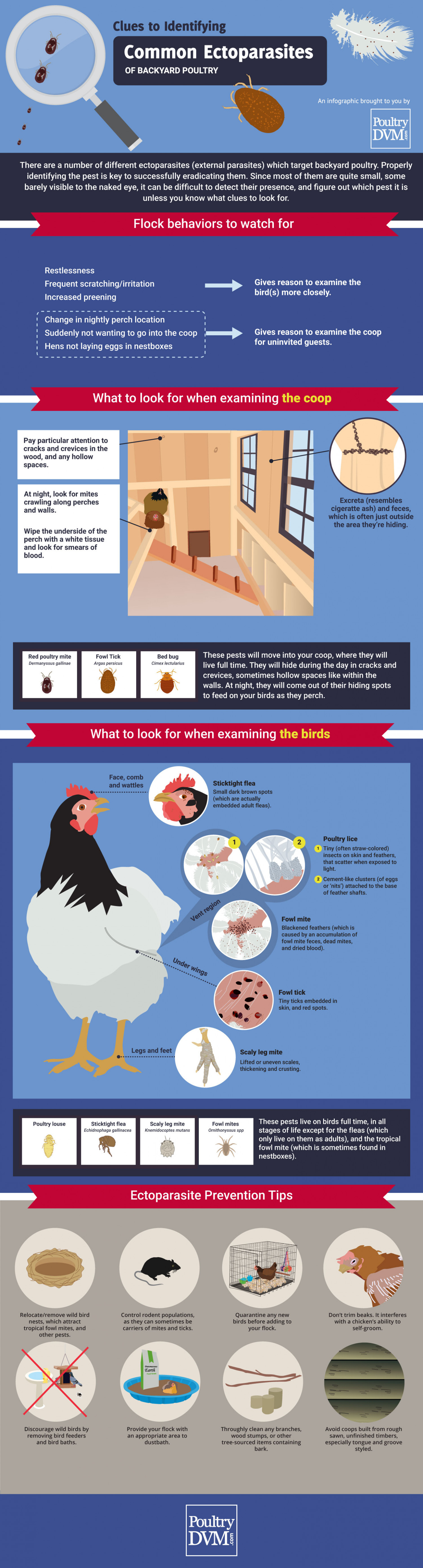 Clues to Identifying Common Ectoparasites of Backyard Poultry Infographic