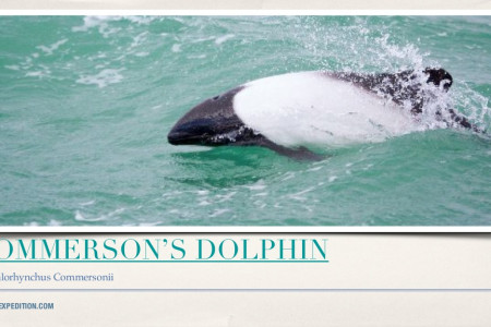 Commerson's Dolphin - Cephalorhynchus commersoni Infographic