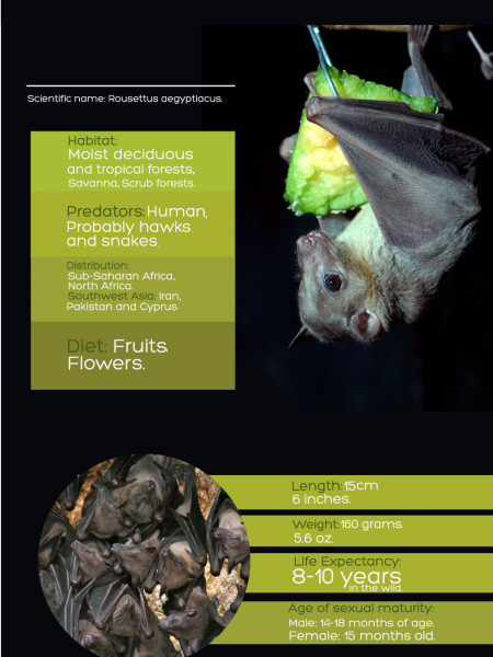 Egyptian Fruit Bat Infographic