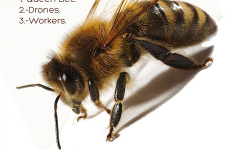 European honey bee Infographic