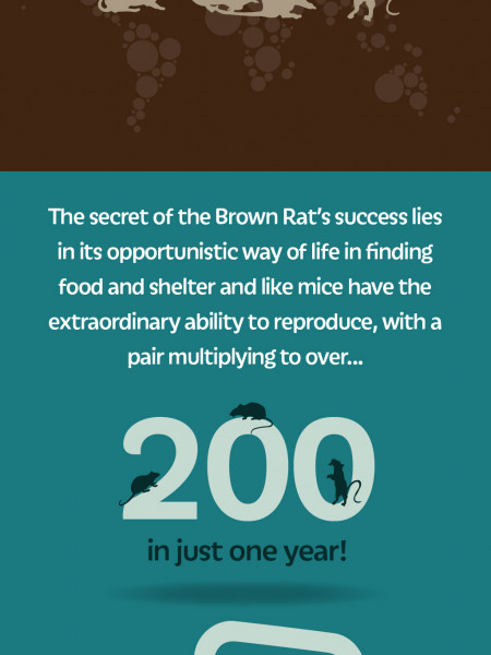 Facts about Common Brown Rat info-graphic by Pestbusters Infographic