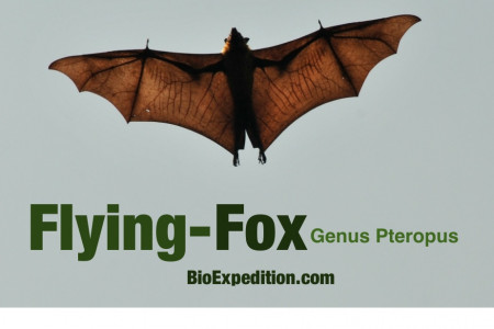 Flying Foxes Infographic