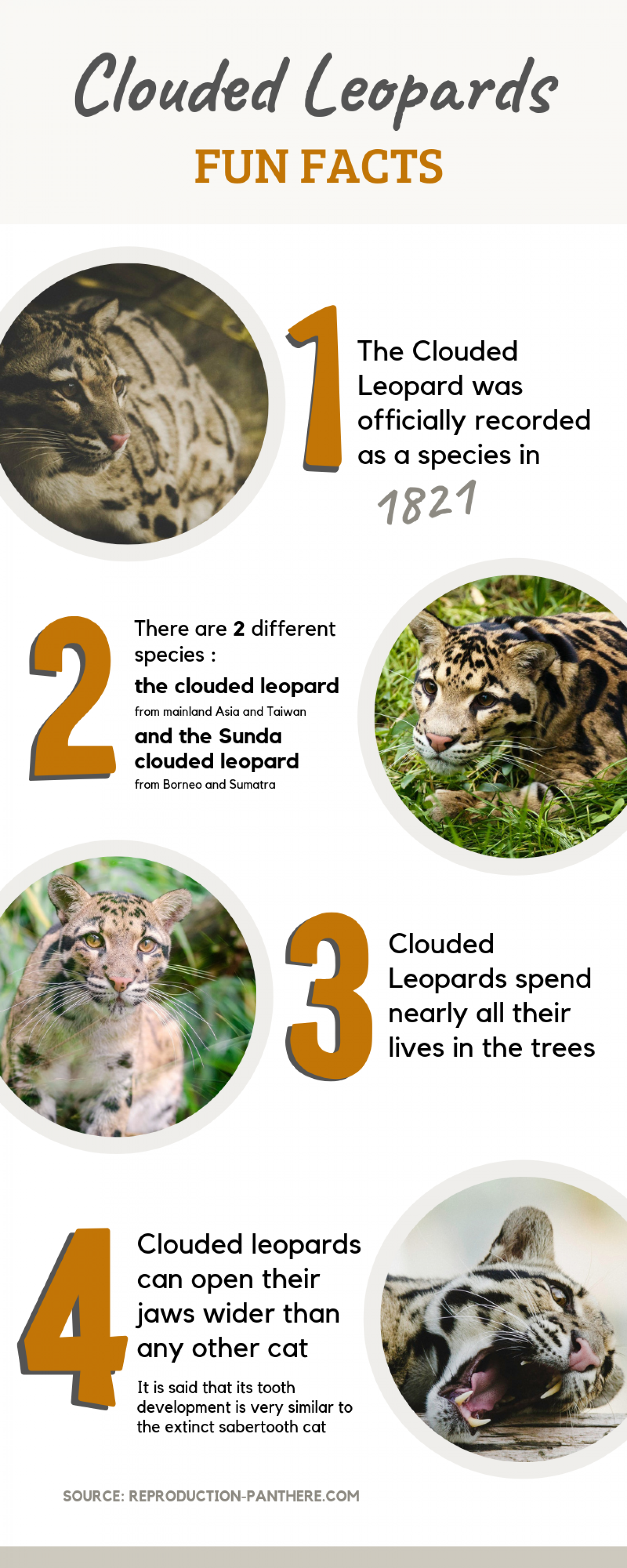 Fun facts about Clouded Leopards Infographic