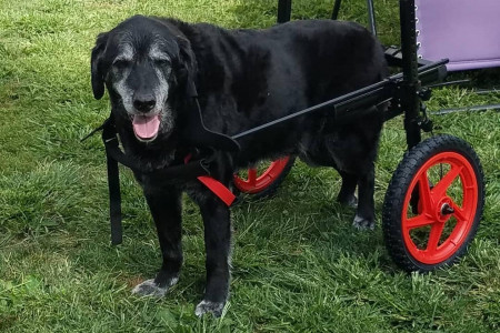 Get the best quality Dog Quad Wheelchair Infographic