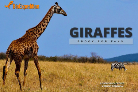 Giraffes, the tallest mammals Infographic