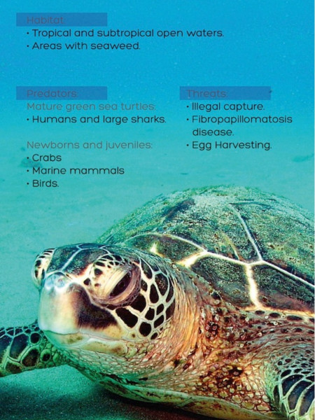 Green Sea Turtle Infographic