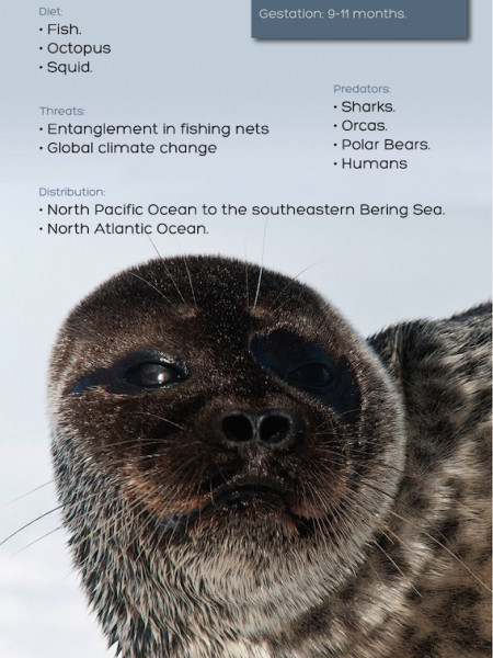 Harbor Seal Infographic