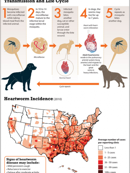 Heartworm Infection Infographic