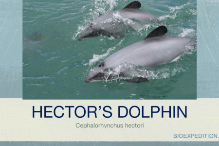 Hector's Dolphin - Cephalorhynchus hectori Infographic