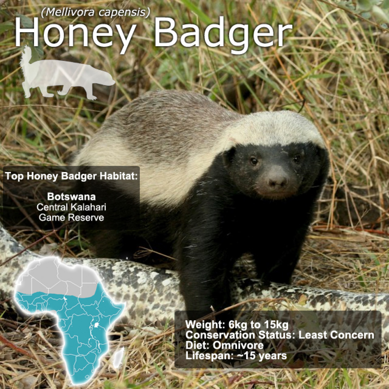 Honey Badger SnapFacts Infographic