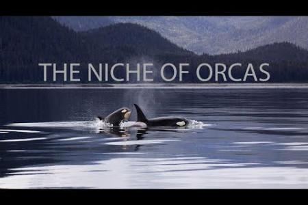 How can you Describe the Niche of Orcas?  Infographic