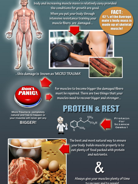 How Do Your Muscles Grow Infographic