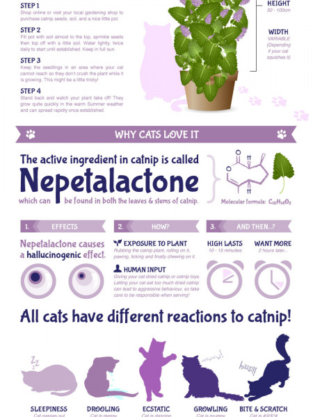 How does catnip effect Cats? Infographic
