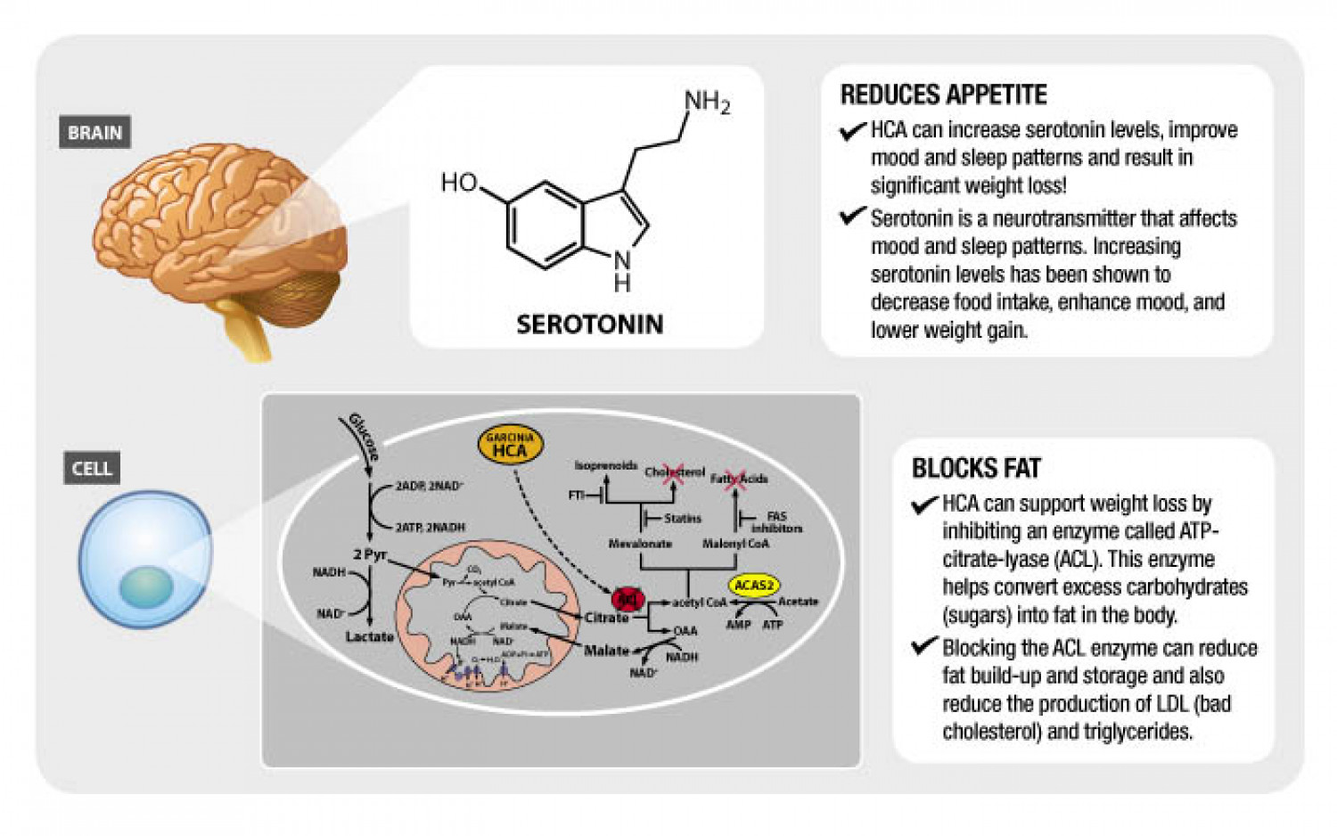 HOW DOES GARCINIA CAMBOGIA WORK TO SUPPORT WEIGHT LOSS? Infographic