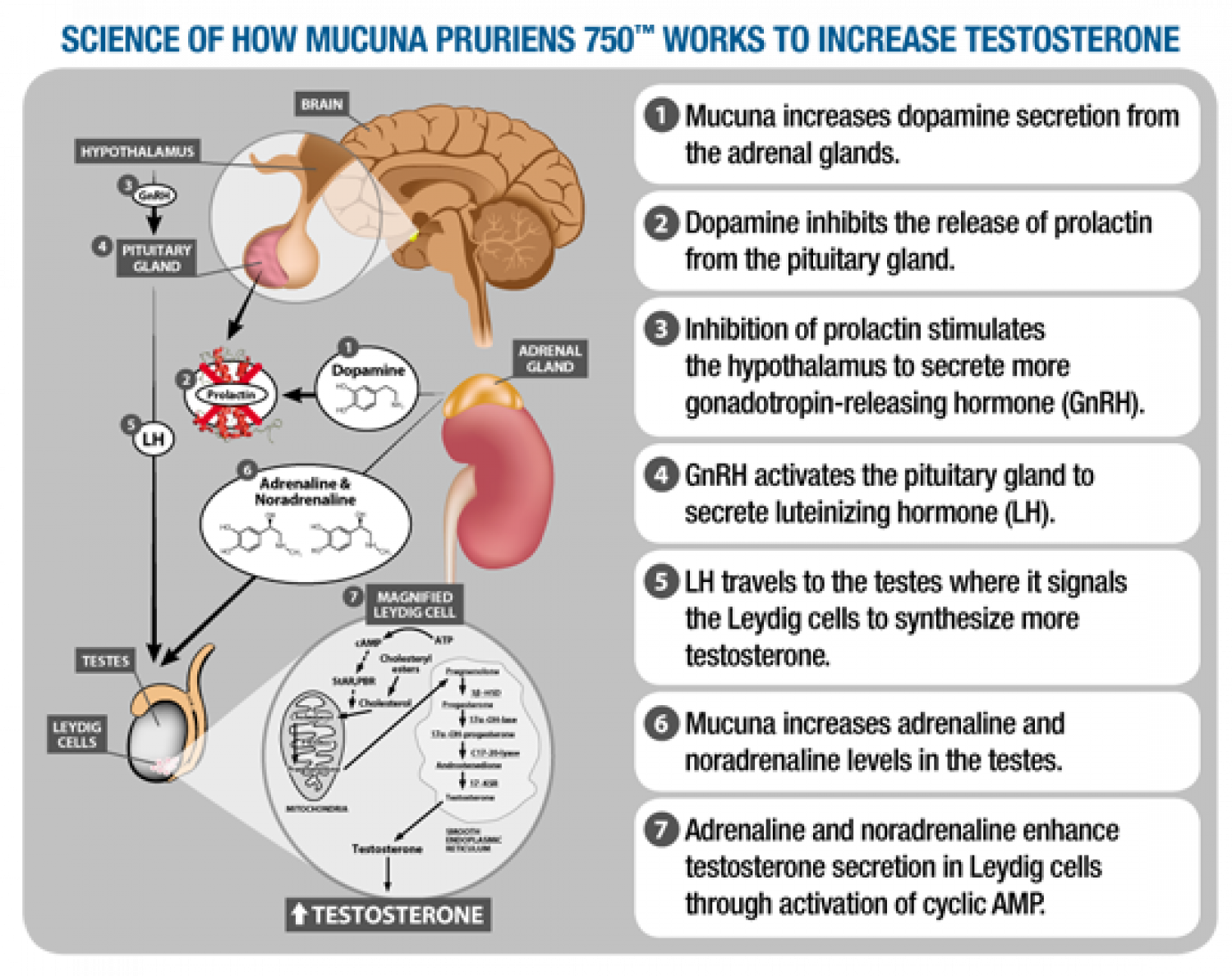 How Does Mucuna Pruriens increases testosterone secretion in body. Infographic