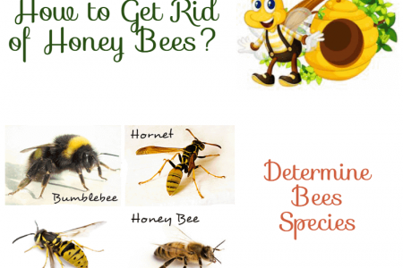 How to Get Rid from Honey Bees?  Infographic